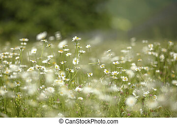 Spring chamomile field nature background.