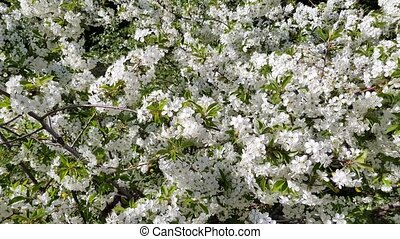 spring cherry bloom - blossoming cherry tree white flowers...