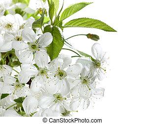 Spring Cherry Blossom Over White