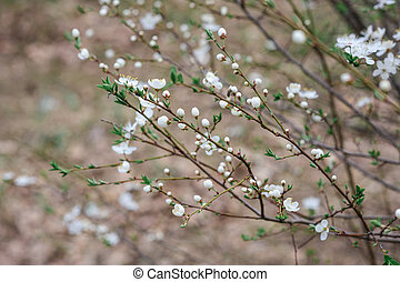 spring cherry blossom tree in the garden