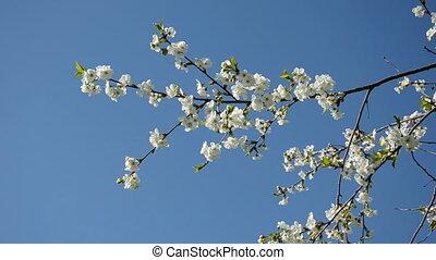 spring cherry blossoming branch