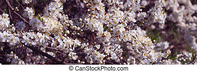 Spring Cherry blossoms flowers. Panoramic Spring white flowers on a tree.