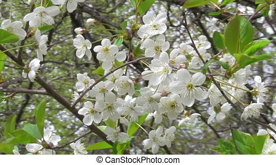 cherry blossoms - spring, cherry blossoms in the garden