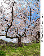 Spring Cherry blossoms tree