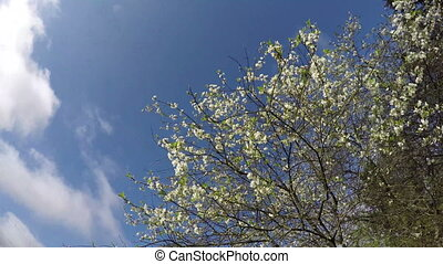 spring cherry tree blossoms