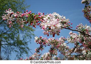 Spring cherry tree flowers