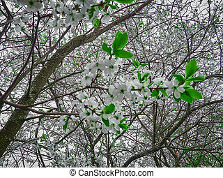 Spring cherry white flowers on a branch. Sunny april day
