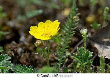 Spring cinquefoil, or spotted cinquefoil