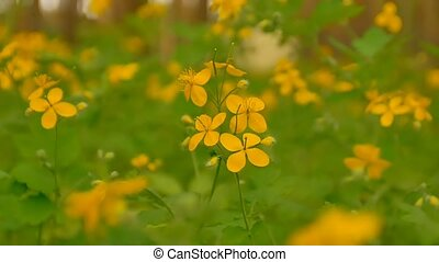 spring clear day flowering celandine slow motion video -...
