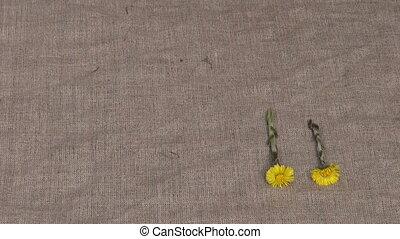 spring coltsfoot (Tussilago farfara) medical herb flowers on...