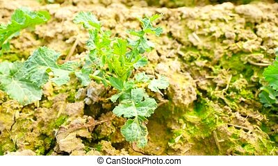 Spring colza field, small young plants moving in the wind. Moved oilseed rape leaves by irregular breeze, beginning of spring in agriculture. Camera moving close up to ground.