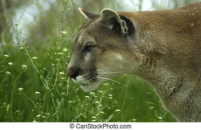Spring Cougar - Cougar spring green grass