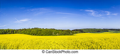 Spring countryside of yellow rapeseed fields in bloom
