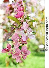 spring crabapple blossoms