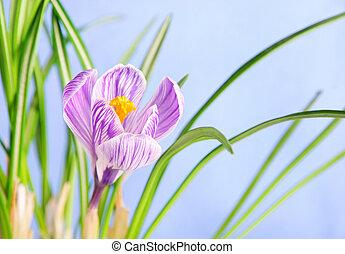 Spring crocus flower against blue sky