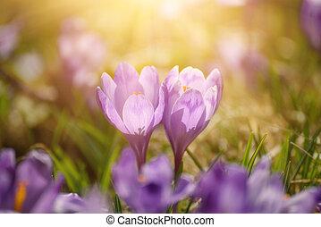 Spring crocus flowers - Beautiful violet crocuses flower...