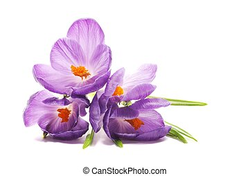 Spring Crocus flowers, close up, isolated on white...