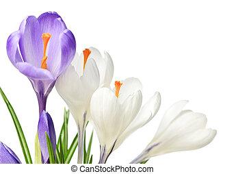 Spring crocus flowers - White and purple spring crocus...
