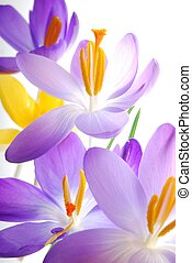 Spring crocuses - Close-up of violet and yellow spring...