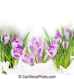 spring crocuses flowers growing  on white background