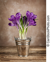 Spring crocuses on the old board