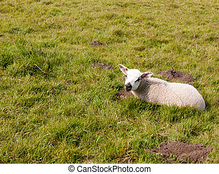 spring cute lamb resting on grass field in spring