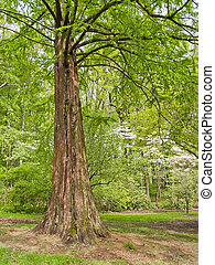 Spring Cypress Tree - A cypress tree at the arboretum in...