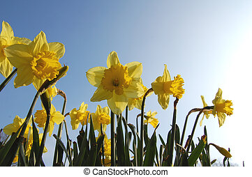 Spring daffodils - Field of spring daffodils