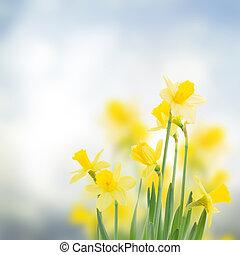 spring daffodils in garden - spring daffodils in garden on...