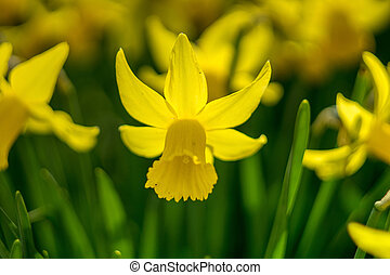 Spring daffodils. Shallow depth of field.