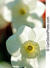Spring daffodils - Spring flowers, macro