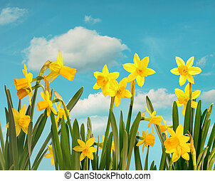 Spring daffodils with blue sky