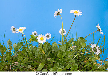 spring daisies and grass