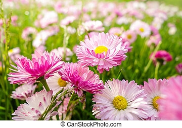 Spring daisies meadow