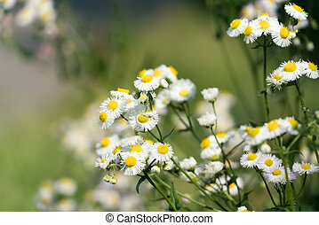 spring daisy flower on the blurred background