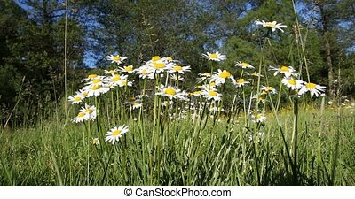 spring daisy marguerite flower field - white daisy,...