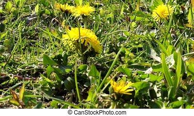 Spring dandelion in fresh green grass