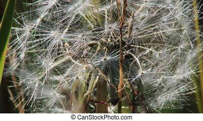 Spring dandelion on natural background