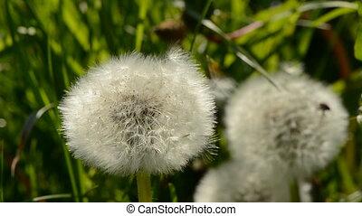 dandelion seeds and wind