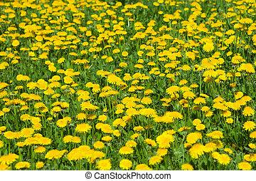 Spring Dandelion Weeds