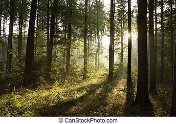 Spring deciduous forest at dawn - Landscape of deciduous ...