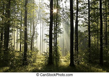 Spring deciduous forest at dawn