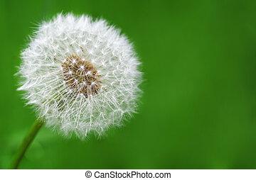 Spring - delicate dandelion against a green background