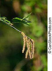 Spring. Earrings cherry Birch (Betula lenta)