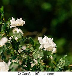 Spring eglantine bloom - Flowers of eglantine in bloom. ...