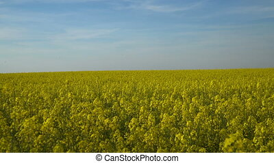 Spring field of yellow flowers and blue sky