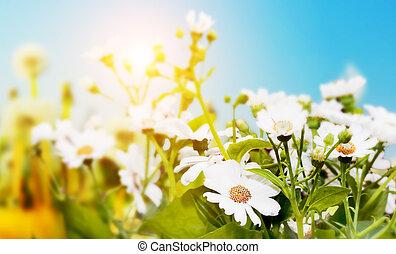 Spring field with flowers, daisy, herbs. Sun on blue sky