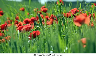 Spring field with the blossoming scarlet poppies
