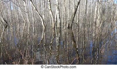 Spring flood water in birch forest