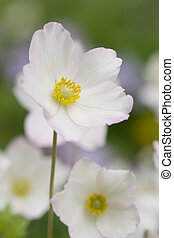Anemone sylvestris - Spring flower - Anemone sylvestris